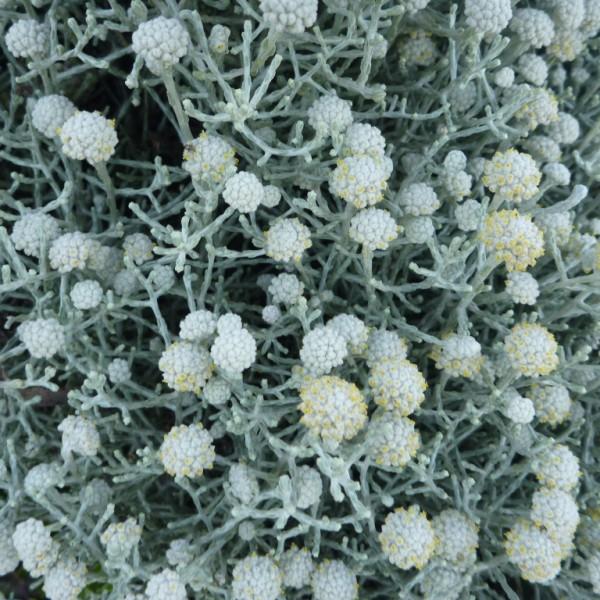 Leucophyta brownii - cushion bush