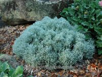 Leucophyta brownii cushion bush 'Moonshine'