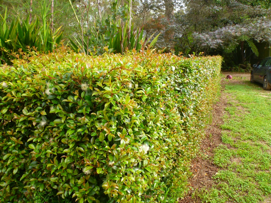 All about hedges gardening with angus for Lilly pilly shrub