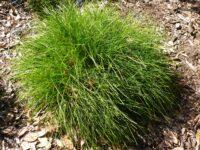 Lomandra confertifolia flax lily 'Little Con'