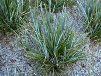Lomandra glauca 'Aussie Blue Grass' is a great substitute for liriope
