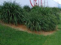 Lomandra longifolia flax-lily 'Cassica'