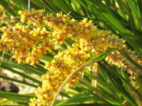 Lomandra longifolia 'Dalliance' is a hardy easy care plant