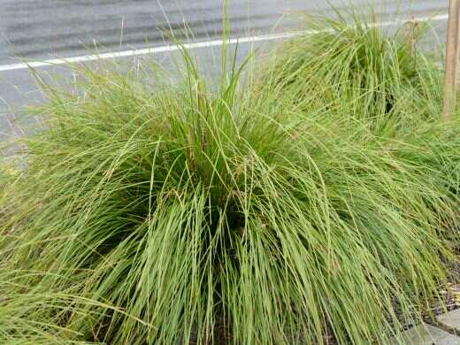 Lomandra Longifolia Easy As Lomandra Gardening With