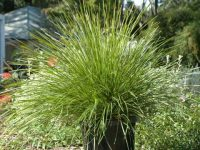 Lomandra longifolia 'Easy As' is a hardy easy care plant