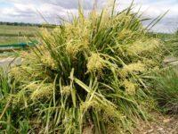 Lomandra hystrix flax-lily 'Katie Belles'