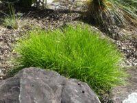 Lomandra flax-lily 'Lime Tuff'