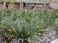 Lomandra fluviatilis flax-lily 'Shara'