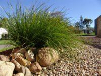 Lomandra longifolia flax-lily 'Tanika'