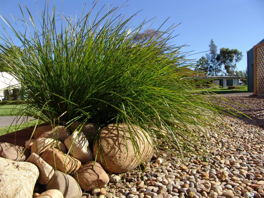 Lomandra Longifolia Tanika Mat Rush Gardening With Angus