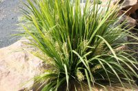 Lomandra hystrix flax-lily 'Tropic Belle'