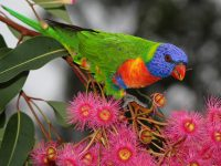 Rainbow lorikeet loving the Corymbia flowers