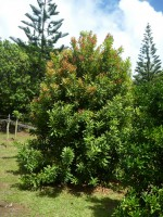 Macadamia integrifolia -macadamia nut