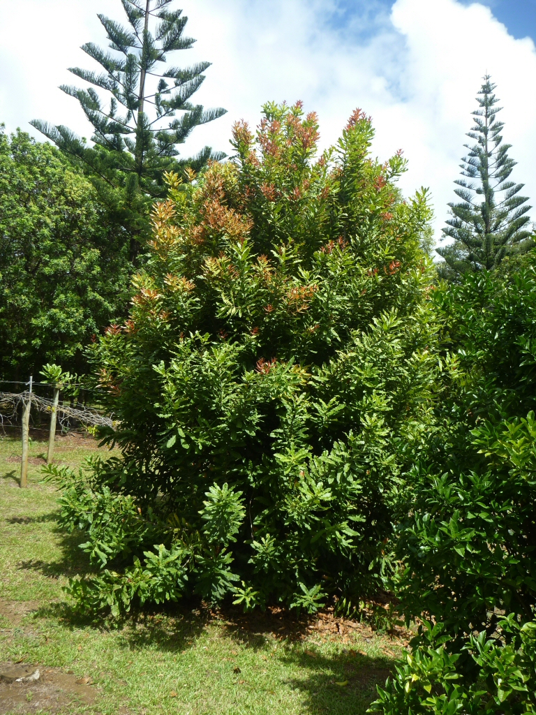 growing macadamia nuts in your backyard gardening with angus