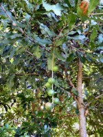 Macadamia integrifolia -macadamia nuts