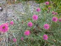 Melaleuca conothamnoides - honey myrtle