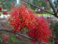 Melaleuca fulgens - scarlet honey myrtle