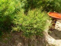 Melaleuca thymifolia - honey myrtle