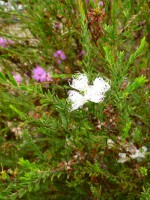Melaleuca thymifolia honey myrtle 'White Lace'