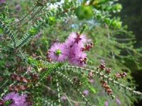 Melaleuca decussata paperbark - dwarf
