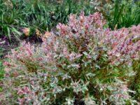 Melaleuca honey myrtle 'Claret Tops'