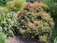 Melaleuca honey myrtle 'Little Red'