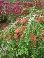 Melaleuca hypericifolia honey myrtle 'Ulladulla Beacon'