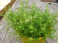 mentha satureoides or native pennyroyal variety bush-mint