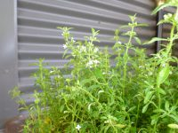 mentha satureoides or native pennyroyal variety bush-mint