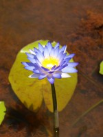 Nymphaea violacea - blue waterlily