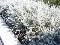 Olearia axillaris daisy bush 'Little Smokie'