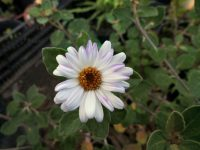 olearia-tomentosa_daisy-bush_mauve-magic
