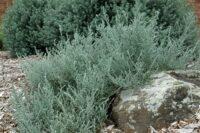 Oleraria lanuginose daisy bush 'Ghost Town'