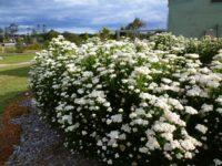 Ozothamnus diosmifolius rice flower 'Radiance'
