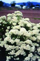 ozothamnus diosmifolius rice flower winter white