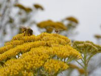 Ozothamnus diotophyllus rice flower 'Gold Dust'