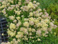 Ozothamnus 'Colour Surprise' is a great australian cut flower
