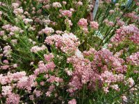 Ozothamnus rice flower 'Coral Flush'