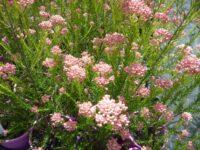 Ozothamnus rice flower 'Just Blush'
