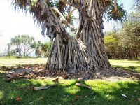 Pandanus tectorius - pandanus palm has plentiful buttress roots