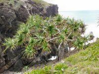 Pandanus tectorius - pandanus palm
