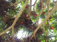 Pandanus tectorius - pandanus palm with red fruit