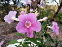 Pandorea jasminoides bower vine 'Funky Bellz'