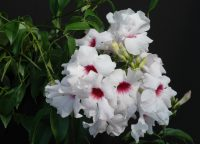 Pandorea jasminoides bower vine 'Jazzy Bellz'