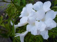 Pandorea jasminoides Wedding Bellz - bower vine has large pure white flowers