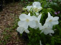 Pandorea jasminoides Wedding Bellz - bower vine is an evergreen climber with large white flowers