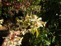 Pandorea Pandorana 'Lemon Glitters' is a fast growing climber