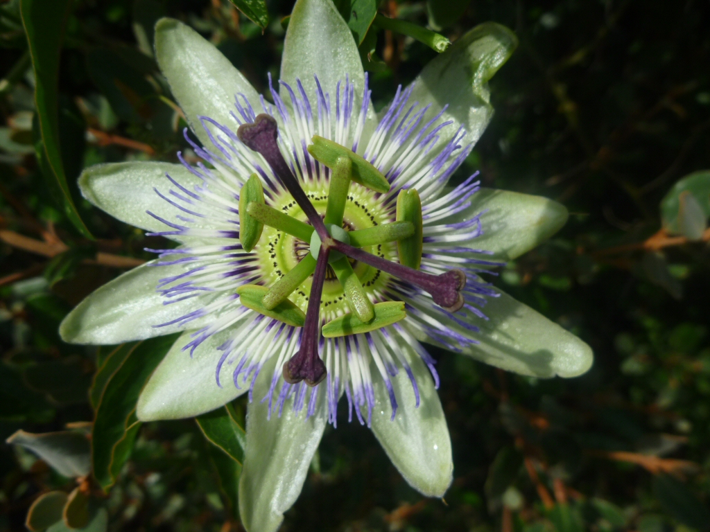Growing passionfruit