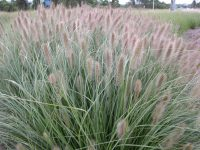 Pennisetum alopecuroides swamp foxtail 'Nafray'