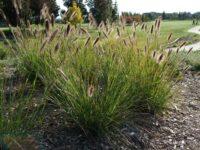 Pennisetum alopecuroides swamp foxtail 'Purple Lea'